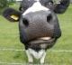 прекрасный скот