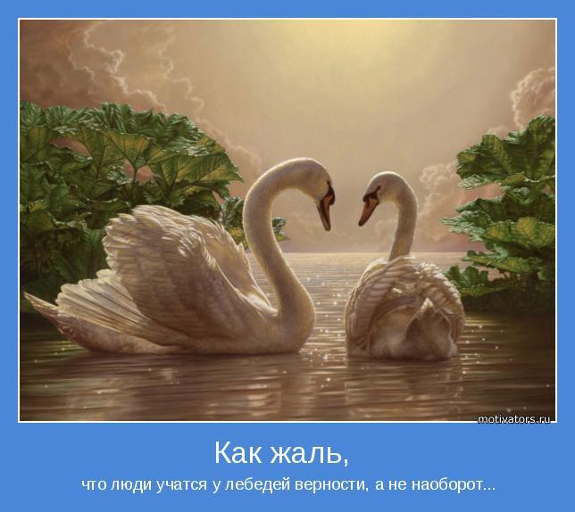 что люди учатся у лебедей верности, а не наоборот...