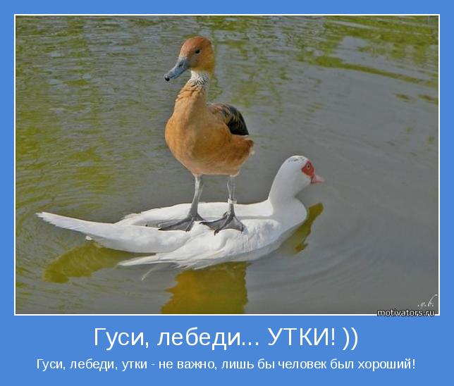 утки и гуси фото