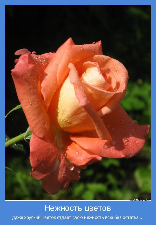 Даже хрупкий цветок отдаёт свою нежность всю без остатка...