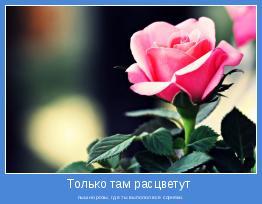 пышно розы, где ты выполол все сорняки.
