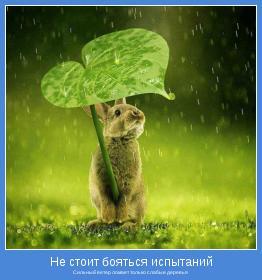 Сильный ветер ломает только слабые деревья